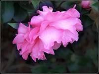 Camellia Sassanqua by Giorgetta Bell McRee