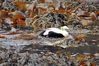 Common Eider (Somateria mollissima) Amidst the Kel