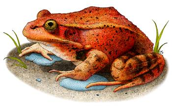 California Red-Legged Frog by artist Roger Hall. Giclee prints, art prints, animal art, frog art, Rana aurora draytonii; from an original pen and ink drawing