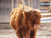 Yak Like Cattle (Red Highland)