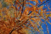 Orange Fall Color with a Bright Blue Sky