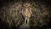 Burrowing Owl with Vignetting