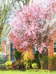 Cherry Tree By Brick House