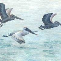 Three pelicans taking off from the water Art Prints & Posters by Mogens V Melander
