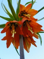 Red Crown Imperial Fritillaria Imperialis