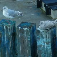 Resting Gulls by John Tribolet