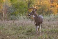 Autumn Buck by Daniel Teetor