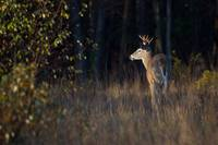 Deer in Morning Sun by Daniel Teetor