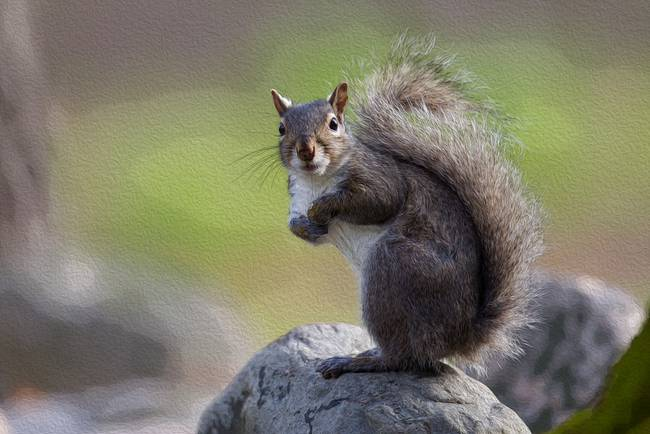 Curious Gray Squirrel