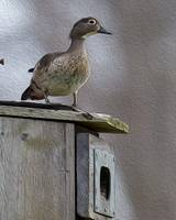 Wood Duck on Box by Daniel Teetor