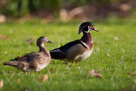 Wood Duck Pair