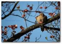Dozing In The Dogwood - Mourning Dove