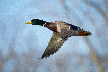 Crossing Flight-Mallard Duck