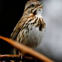 """Song Sparrow"" by ROBERTSCOTTPHOTOGRAPHYY"