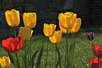 Lollipop Tulips