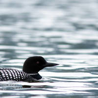 Loon Floats by Thirteenth Avenue Photography