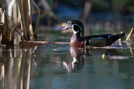Wood Duck on Cattail Pond