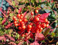 Red Berries in Fall