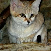 Baby Sand Cat - 2 by Patricia Schnepf