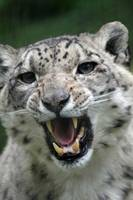 snow leopards teeth