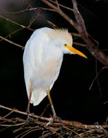 Cattle Egret in Tree