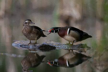 Wood Ducks on a Log 2