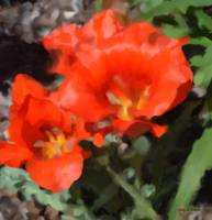 Red Tulip - Impression