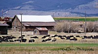 Cows by barns
