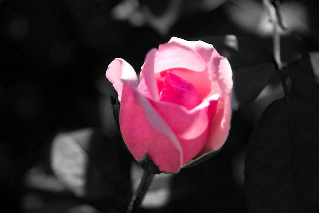 Pink rose bud black and white background by valerie waters