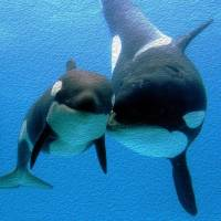 Orca and Calf by John Tribolet