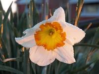 White Daffodil After The Rain