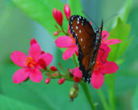 Red Butterfly On Pink Flowers
