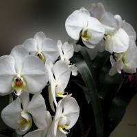 White Orchids by Patricia Schnepf