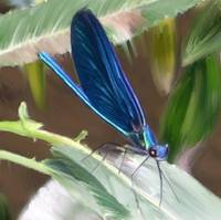 Dragonfly: Beautyful Demoiselle