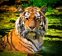 Bathing Tiger