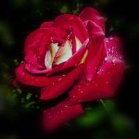 red rose with water drops by Alexandr Grichenko