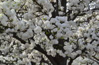 White Flowering Tree