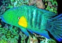 Broomtail Wrasse