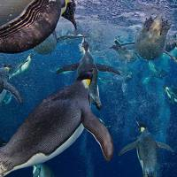 Emperor Penguins Under Water by John Tribolet