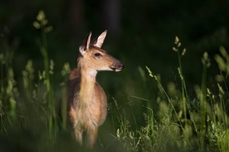 Deer in a Sunbeam-5