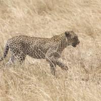 Leopard on patrol Art Prints & Posters by Julian W.