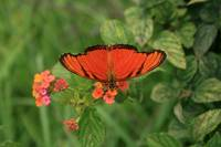 Orange Butterfly Pollinating Flower
