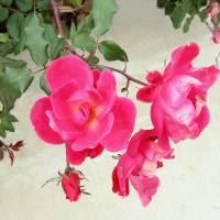 Roses by Patricia Schnepf