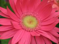 Crazy Over Daisy (Pink Gerbera)