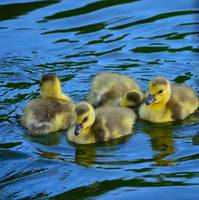 Swimming Goslings