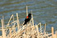 Red Winged Blackbird Perched on Marsh Grass