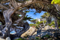 Twisted Cypress Trees at Pescadero Point
