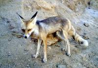 A Raposinha do Deserto: The Desert Fox