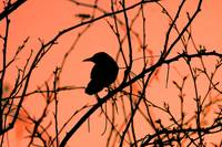 Grackle at sunset