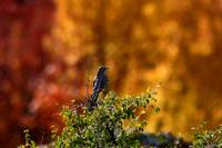 Mockingbird and insanely cool fall color